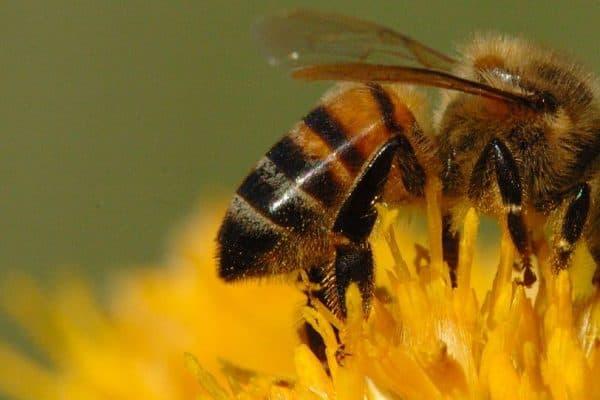 Lebah, Hewan Yang Mendapat Wahyu